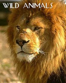 Wild Animals - Lions