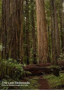 The Last Redwoods