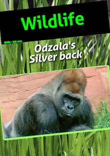 The Gorilla's of Odzala