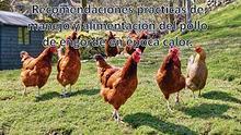 Recomendaciones prácticas de manejo y alimentación del pollo de engor